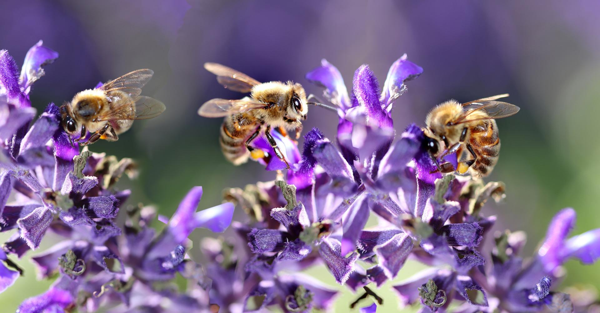 na zdjęciu pszczoły zbierające nektar z kwiatów